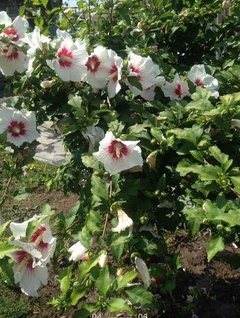 Гібіскус деревовидний сирійський, вуличний.Хости, хризантеми, іриси.