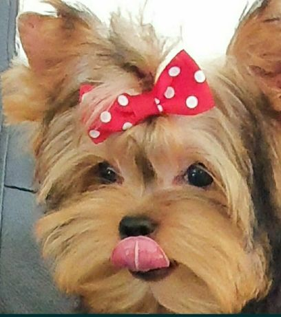 Piękny mały piesek Blue Tan Yorkshire Terrier