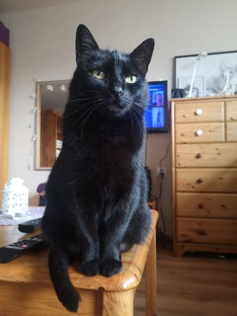 Dorosła kotka Jagoda do adopcji