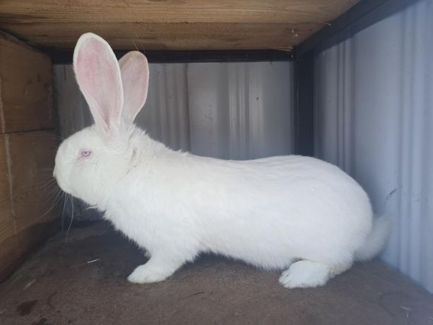 Samiec olbrzyma belgijskiego bos króliki
