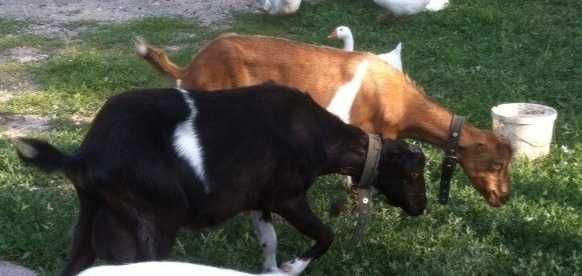 Две козы Ламанча 100% предложите свою цену