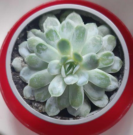 Комнатные растения суккуленты Эхеверия