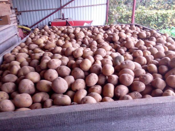 Ziemniaki sadzeniaki- jadalne Denar