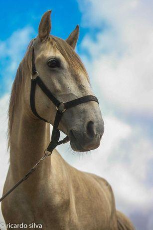 Cavalo Inteiro Cruzado Português