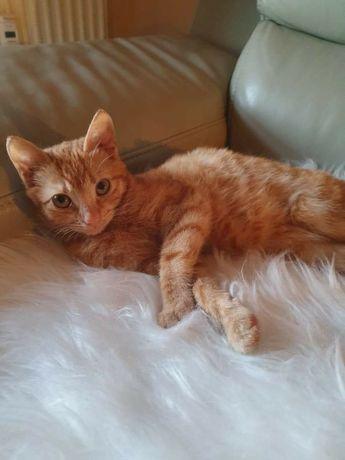 Rudy kociak do adopcji! 5 miesięczna Franka szuka domku < 3