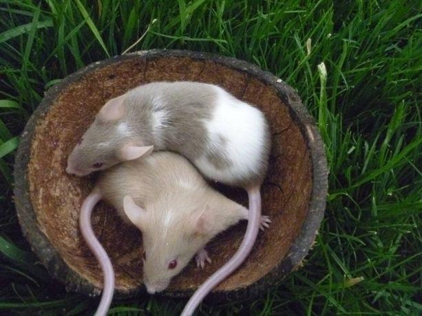 Мышки декоративные домашние из питомника.