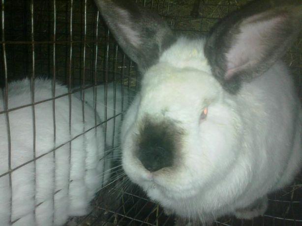 Продам кролі м'ясного напрямку