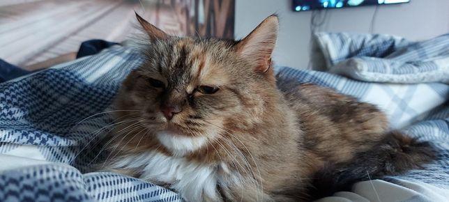 Сибирска кошка Фаня