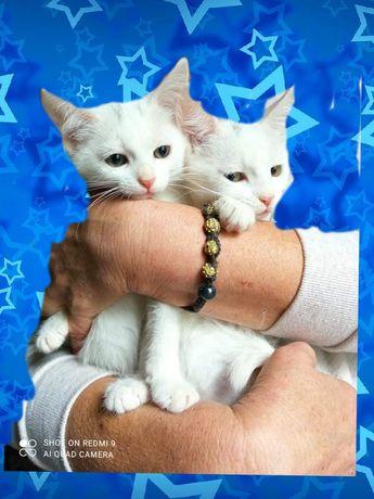 Двое котят мальчиков ищут семью метисы ангоры!