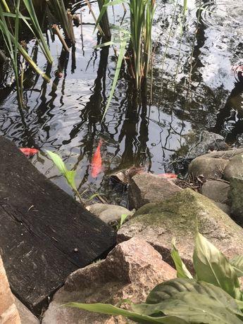 Цветной карась, рыба для пруда, золотой карась, прудовая рыбка