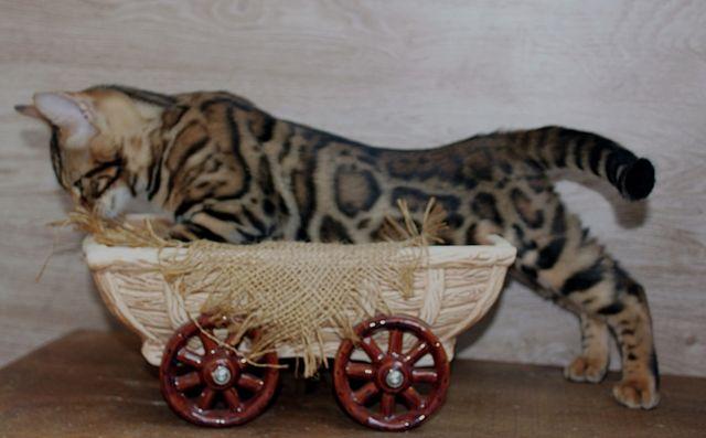 мини леопардики ШОУ-класса для вас