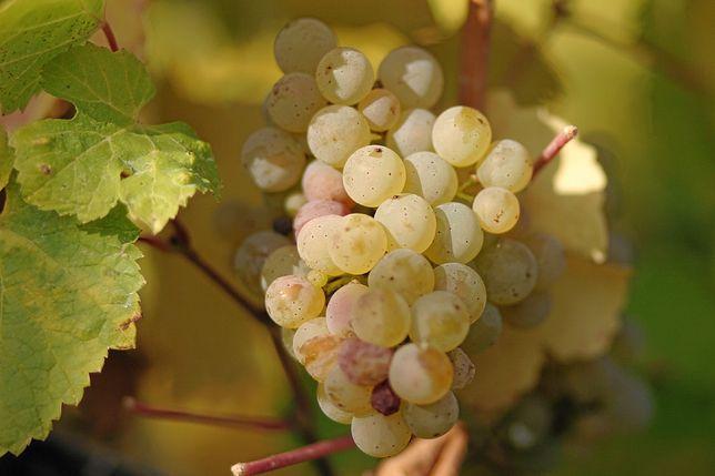Vendo uvas Malvasia fina / Verdelho / Gouveio / tinta barroca