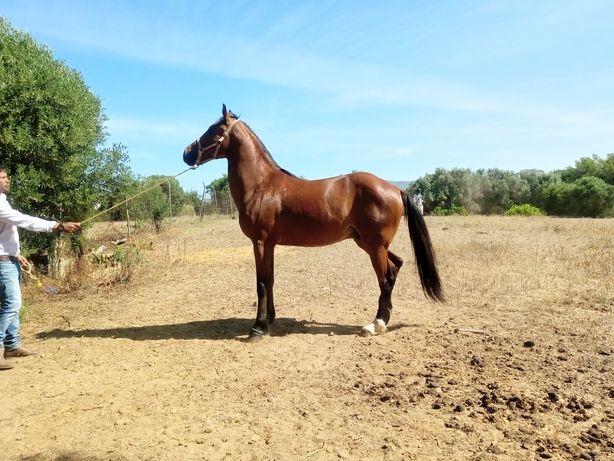 Vendo cavalo , poldro e uma poldra