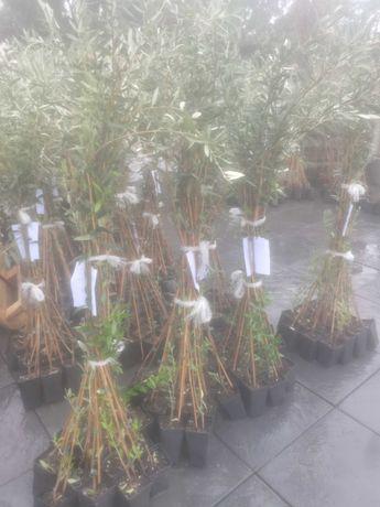 Oliveiras Cobrancosa para plantação