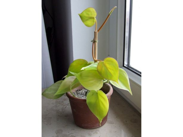 Filodendron Philodendron scandens Lemon Lime