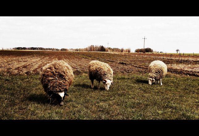 OWCE WRZOSÓWKI, 5 owiec, PILNE !!! 230 zł sztuka