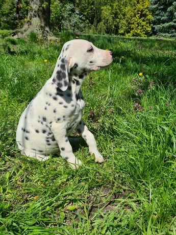 Piesek Dalmatyńczyk Kenzo