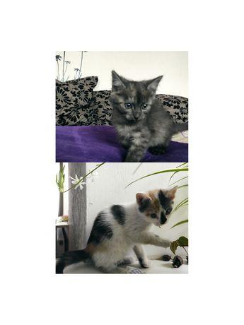 Котята. Серый-мальчик, трехцветная-девочка
