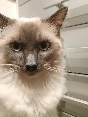 Zaginął Kot-Muniek Biało kremowy, długowłosy Częstochowa