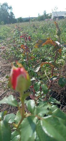 Продам участок с розами