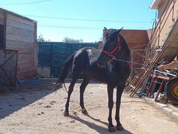 Cavalo Preto- Engatado
