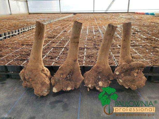 Paulownia stump, toco, raíz aberta