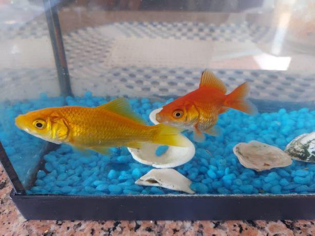 Dois peixes (Red Cap Goldfish e Comet Goldfish)