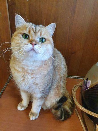 Британская золотая кошка