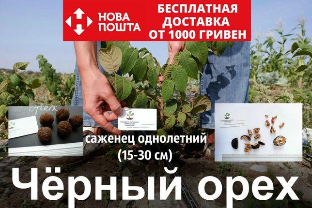 Черный орех саженцы, (родственник грецкого), саджанці чорного горіха