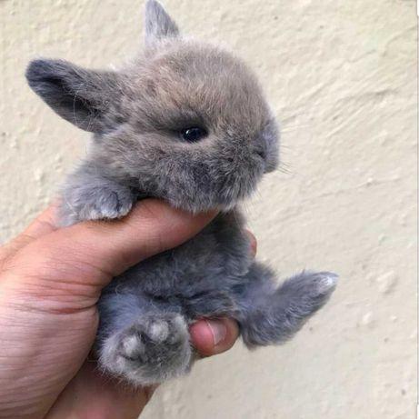 KIT completo coelhos anões angorá e holandês mini