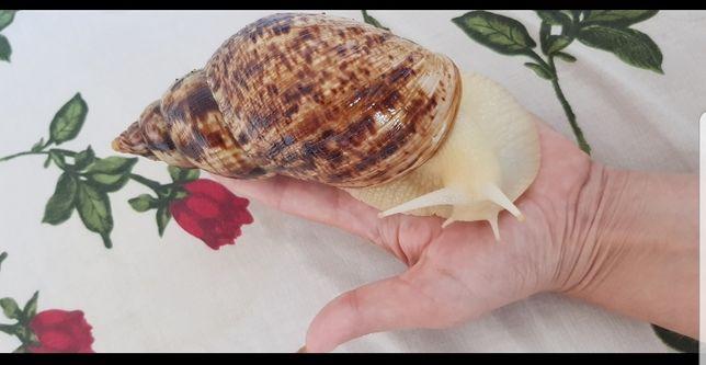 50 гр Ахатина Ретикулята альбино,черноголовые,улитки-равлики, Ахатіни