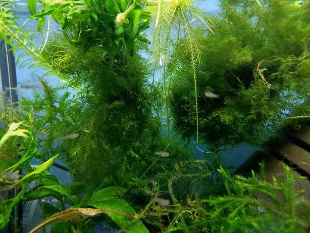 Roślinki na START AKWARIUM , żwirek czarny , 30 mlodych rybek