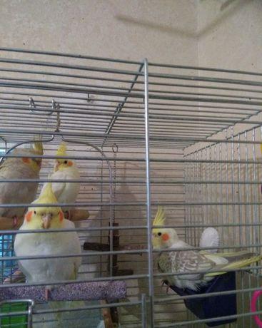гарні папуги корелла ,18штук молодi