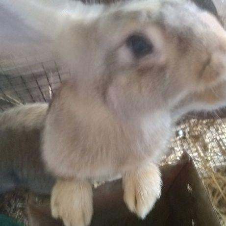 Estrume  de coelho