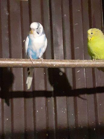 Papugi papugi faliste