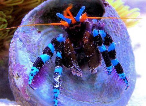 Calcinus elegans Krab akwarium morskie
