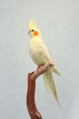 Папуги Породи Корелла в магазині ЗООМИР