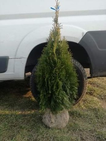 Tuja tuje Szmaragd Smaragd thuja thuje żywotnik 70 - 200 cm
