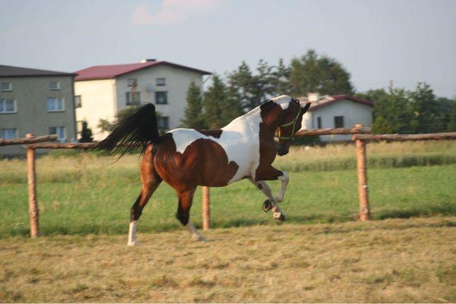 Dzierżawa Współdzierżawa duży koń Lędziny Imielin