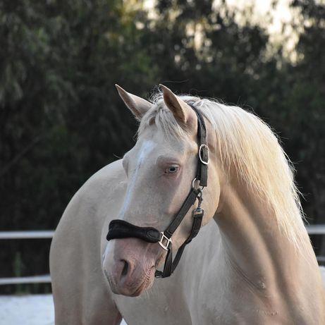 Cavalo de obstáculos 6 anos