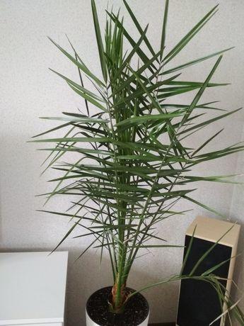 Пальма финиковая, пальма для офиса, кафе, летней площадки