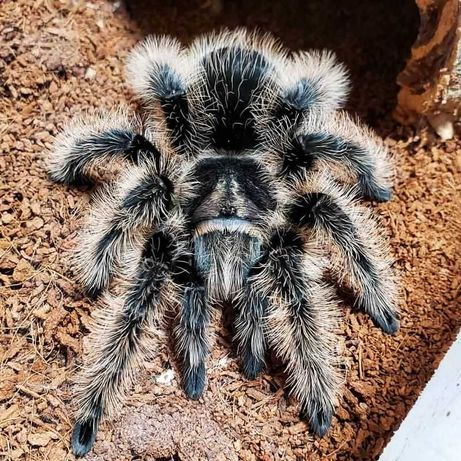 Brachypelma Albopilosum Nicaragua самка паука птицееда