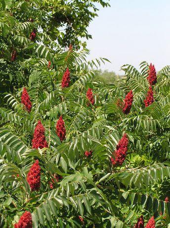 Сумах оленерогий дерево