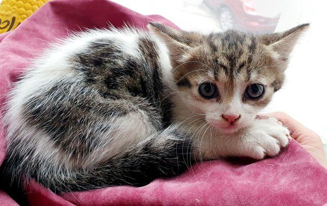 Котенок полосатый Фунтик и разноцветная Красотка ищут дом