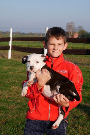 American Staffordshire Terrier FCI, ZKwP Amstaff suczka 3 - WHY NOT ME