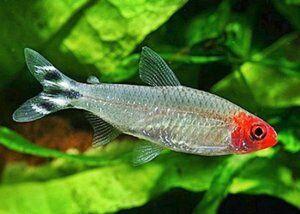 Родостомус или красноносая тетра, мирные рыбки, аквариумные рыбки