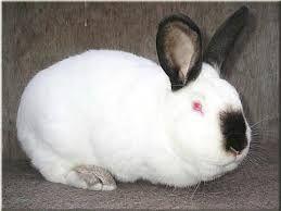 продаются племенные кролики калифорнийской породы чистокровные