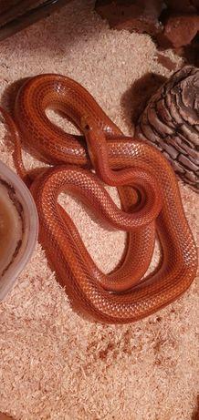 Sprzedam Węża Zbożowego +terrarium