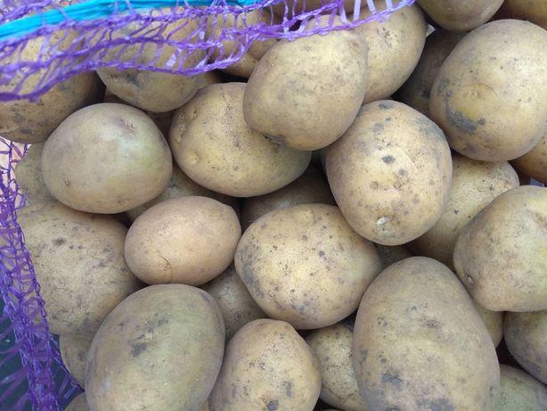 Посадкова картопля Рів'єра