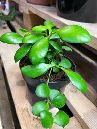Hoja | hoya heuschkeliana roślina doniczkowa WYSYŁKA